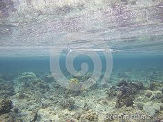 Barracuda is swiming near the the mirror reflection of the coral