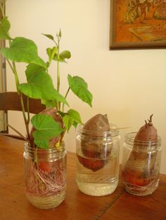 Homegrown sweet potato slips, fun for kids Did not know that sweet potatoes leaves can be eaten as greens.