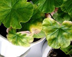 сохнут листья у герани фото