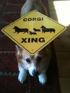 corgi crossing