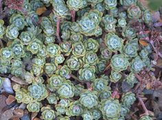 """Sedum spathulifolium 'Campbell Lake.""""  A selection discovered by Jenny Fleming, a founding member of CNPS."""