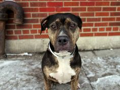 SAFE !  Brooklyn Center    DAKEY - A0992888 (fka DOTTY - A0988992)  *** RETURNED ON 3/1/14 *** BEHAVIOR: EXPERIENCED HOME ***   SPAYED FEMALE, TRICOLOR / BR BRINDLE, PIT BULL MIX, 3 yrs  STRAY - ONHOLDHERE, HOLD FOR ID Reason STRAY  Intake condition NONE Intake Date 03/01/2014