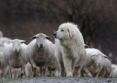Great Pyrenees Guarding Sheep Two Loves Big Dog And