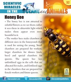 """Honey Bee:  from """"Scientific Miracles in the Oceans & Animals"""" by """"Yusuf Al-Hajj Ahmad"""", published by Darussalam, 2010"""
