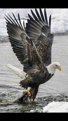 Excellent Images birds of prey eagle Thoughts As a wildlife regarding animals wedding photographer, the key matter many criticize in relation to would be t Eagle Images, Eagle Pictures, Bird Pictures, Beautiful Birds, Animals Beautiful, The Eagles, Bald Eagles, Eagles Band, Aigle Animal