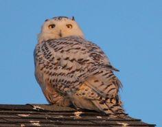 Snowy Owl at sunrise on Rye Beach NH 2014 Marsha DiNardo M&M Photography