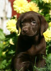Chocolate labs..part of my future life. one named captain kahlua (sometimes I'll just call him captain) and one named skipper :)