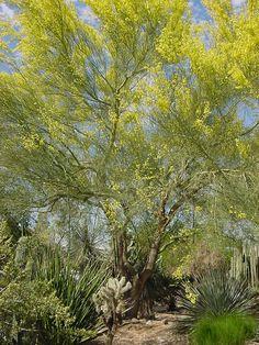 Palo Verde. Glendale Xeriscape Garden, Glendale, AZ