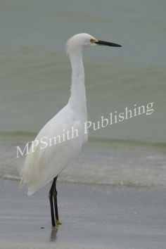 White Egret 2 - https://melaniepsmith.com/downloads/white-egret-2/ - White Egret | Florida  Purchased photo will not contain watermark. You are purchasing a standard license Click Here for license details.  You may use this image in accordance with the license agreement in such things as web blogs, magazines, book covers, web design, etc.   - https://melaniepsmith.com/wp-content/uploads/edd/2016/04/White-Egret-2-420x630.jpg