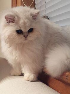 Pasha, chinchilla persian kitten