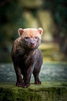 The Bush Dog is a wild dog primarily found in Suriname, Guyana, and Peru