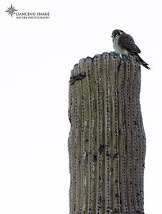 """""""simplicity"""" - American Kestrel - Formally known as the Sparrow Hawk. Which is kind of funny because they primarily prey on insects and small mammals. Oh yeah, they are also falcons, not hawks.  ©R.C. Clark: Dancing Snake Nature Photography All rights reserved #arizona, #nature, #photography, #dancingsnakenaturephotography, #birds, #raptors, #kestrel"""