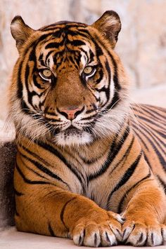 Tiger in SA 3-0 F LR 8-9-08 J036 by sunspotimages, via Flickr
