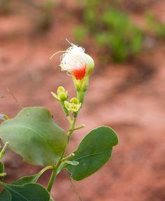 A delicate flower at Gapuwiyak in Arnhem Land, Northern Territory, taken in November 2008