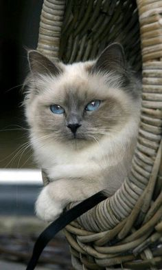 Grey Kitten -- Cute Kittens If you plan to foster, you need to know how to prepare your home for fo Cute Kittens, Ragdoll Kittens For Sale, Ragdoll Cats, Pretty Cats, Beautiful Cats, Pretty Kitty, Birman Cat, Himalayan Cat, Cat With Blue Eyes