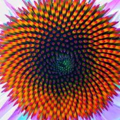 coneflower, Golden Ratio, more fractal geometry in nature