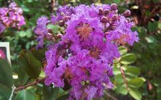 Early Bird Purple Crape Myrtle - 2 Gallon - Shrub, Tree - Shrubs for Summer Color Ornamental Trees, Plants, Crepe Myrtle, Growing Shrubs, Rare Plants, Buy Plants Online, Crape Myrtle, Pretty Gardens, Southern Living Plant Collection