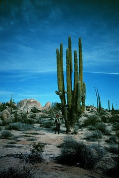 Baja California, Mexico - Don't forget the other half of California, and it's two-storey cactuses.