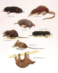"""Moles Elephant Shrew Flying Lemur Vintage by mysunshinevintage, $10.00.""                  [Pinned to NAT-ANI-MAM-EULIPOTYPHLA ORDER FAMILIES, N.O.C....TALPIDAE (Desmans,Moles, ...); NAT-ANI-MAM-Primates-Strepsirrhine Primates ... Lemurs ...; & NAT-ANI-MAM-Shrews ....]"