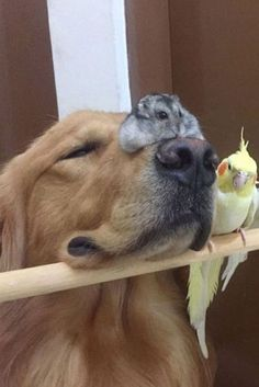 This Golden Retriever Snuggling With His Bird And Hamster Besties Proves Love Knows No Species (Ya gotta go to this site and scroll through all the pics of them on here - oh my goodness, ya just gotta). Cute Little Animals, Large Animals, Cute Funny Animals, Animals And Pets, Cute Puppies, Cute Dogs, Dogs And Puppies, Cute Hamsters, Robo Dwarf Hamsters