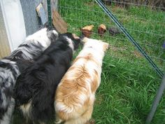 House Unseen. Life Unscripted.: Teaching dogs to herd chickens