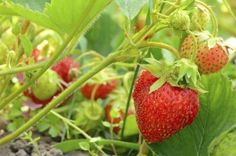 Organic strawberries (Fragaria x ananassa) are as nature created them: free from pesticides and chemicals. To keep them that way, natural fertilizers rather than chemical-based substitutes are a . Strawberry Beds, Strawberry Garden, Strawberry Plants, Fruit Garden, Edible Garden, Herb Garden, Strawberry Fertilizer, Organic Gardening, Gardening Tips