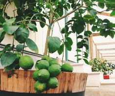 Free Shipping. Grow Texas-grafted citrus in a pot anywhere in the US. We will show you how!