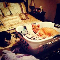 Y la colada es su tarea favorita que revisar.   27 cosas que nadie te dice acerca de tener un gato