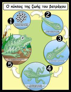 ο βάτραχος είναι βάτραχος - mikapanteleon-PawakomastoNhpiagwgeio: Ένας βάτραχος στην ... τάξη