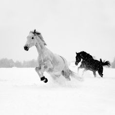 horses in the snow white and black Pretty Horses, Horse Love, Beautiful Horses, Animals Beautiful, Animals And Pets, Baby Animals, Cute Animals, Animals Of The World, Horses In Snow