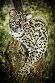 Photograph Margay by Tony Rath . Small Wild Cats, Big Cats, Cool Cats, Cats And Kittens, Beautiful Cats, Animals Beautiful, Cute Animals, Margay Cat, Rusty Spotted Cat