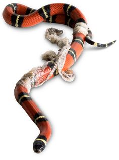 Looking to learn more about snake skins? Improve your knowledge on snakes shedding their skin and find out more about reptiles with DK Find Out for kids. Kinds Of Snakes, Milk Snake, Snake Goddess, Baby Snakes, Snake Shedding, Coral Snake, Layers Of Skin, New Skin, Snakes
