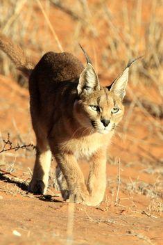 Caracal Stalking in the Kalahari by Bob Shepardson http://focusingonwildlife.com/news/wildfocus/featured/caracal-stalking-in-the-kalahari/