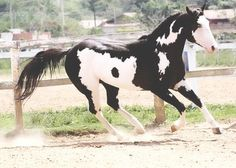 Black and white overo paint... Beautiful! by ora