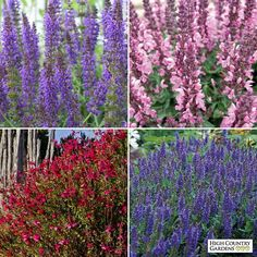This Salvia Collection includes medium growing and dwarf varieties of Salvia in a stunning combination of raspberry, pink, purple and blue blooms. Drought resistant/drought tolerant plant (xeric). Save $5 off the single plant price of $41.96!
