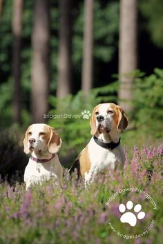Beagles in Rushmere | Pet Photography Bedfordshire by Bridget Davey on 500px