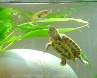 How to Care for Yellow-Belled Slider Turtles: Things You Should Know About Sliders Yellow Belly Turtle, Pet Turtle Care, Types Of Turtles, Small Turtles, Yellow Bellied Slider, Reptile Terrarium, Terrarium Ideas, Terrariums, Turtle Homes