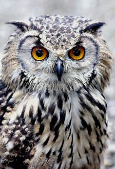 Bengal Eagle Owl | by Jonathan