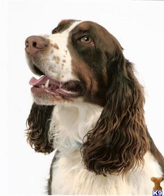 Did someone steal my dog?  Looks just like her!!                         English Springer Spaniel