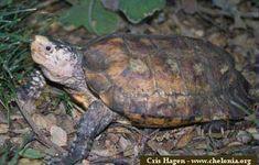Leucocephalon yuwonoi (kura-kura hutan sulawesi atau kura-kura paruh betet)