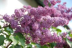 Want the most fragrant plant on earth in your garden? Learn about planting lilac bushes and how to grow them, including how to prune lilacs, and lilac care! Wisteria How To Grow, Garden Projects, Garden Tools, Garden Art, Diy Projects, Lilac Varieties, Propagate Succulents From Leaves, Lilac Plant, English Garden Design
