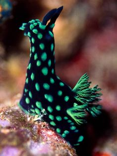 Sea slug - who knew that there were pretty sea slugs out there??? :) .. this one looks like a horse or llama :)