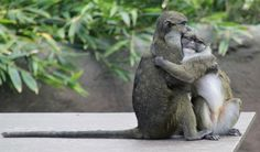 Monkeys sharing a moment  #animal #monkeys #sharing #moment