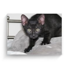 Fotoplátno 4:3 s potiskem Nový produkt Cats, Animals, Gatos, Animales, Animaux, Animal, Cat, Animais, Kitty