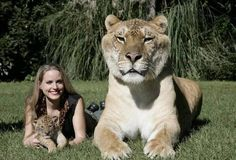 The name of this cat is Hercules, a feline Liger, which is cross between a Lion with a Tiger.