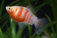 platy fish - Google Search