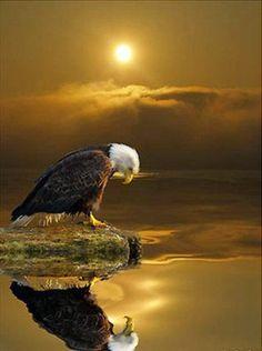 Eagle at sunset, The Majestic Bald Eagle