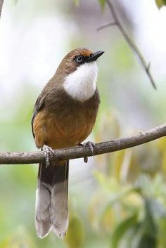 White-troated Laughingthrush,Myron tay