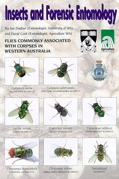 Insects and Forensic Entomology with Diptera from Western Australia