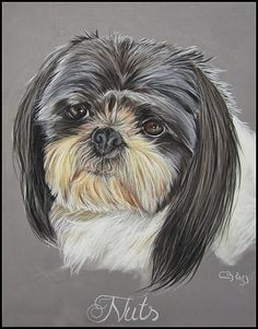 Shih-Tzu portrait